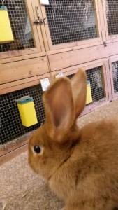 Junges Sachsengold-Kaninchen ohne Täto